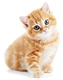 Autocollant sticker voiture moto animal animaux bebe chat chaton roux enfant